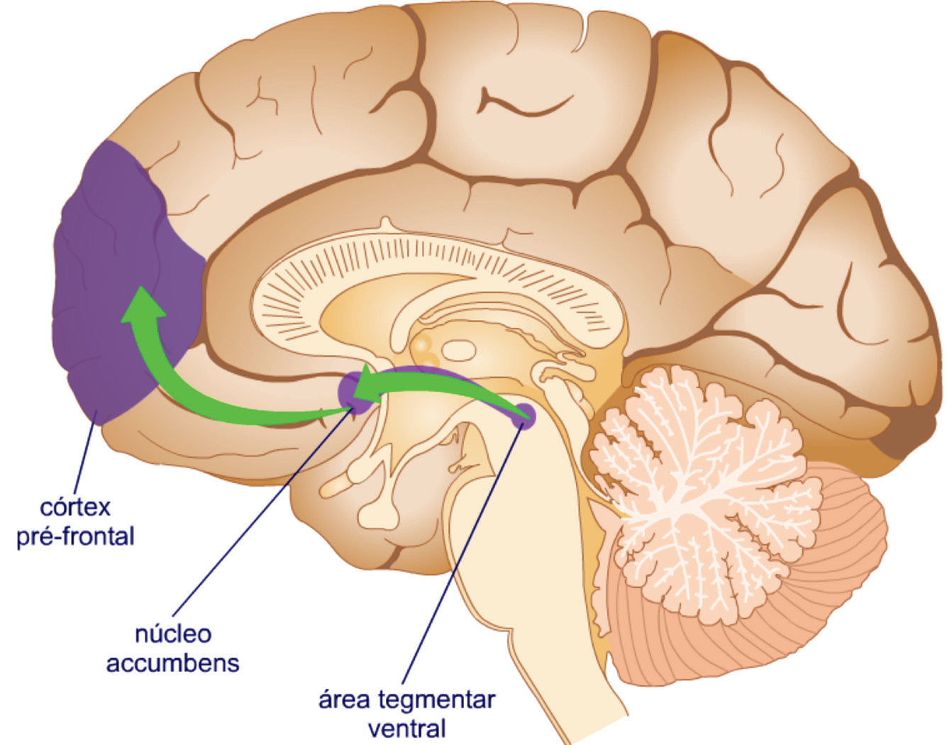 Circuito Neuronal : El circuito de recompensa punto débil y aliado la ciencia del
