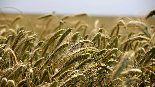 wheat monsanto trigo