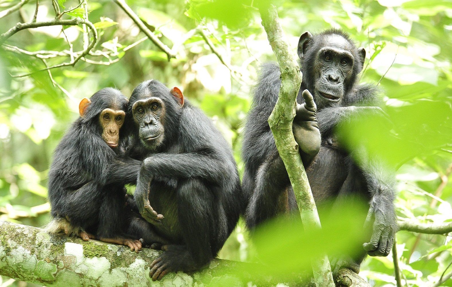 La personalidad de los chimpancés está relacionada con la anatomía ...