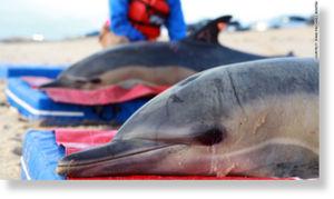 Muerte misteriosa de 81 delfines
