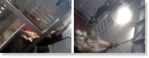maltrato al ganado1