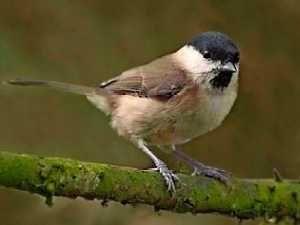 pájaros comunes