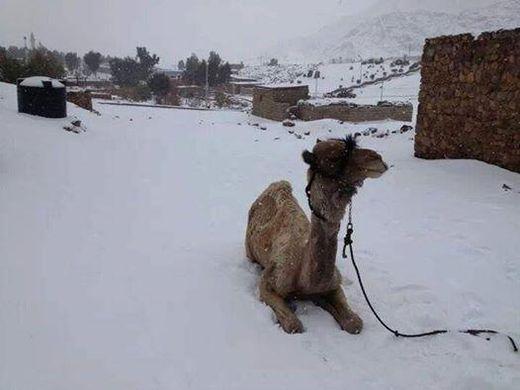 camello en nieve, Egipto