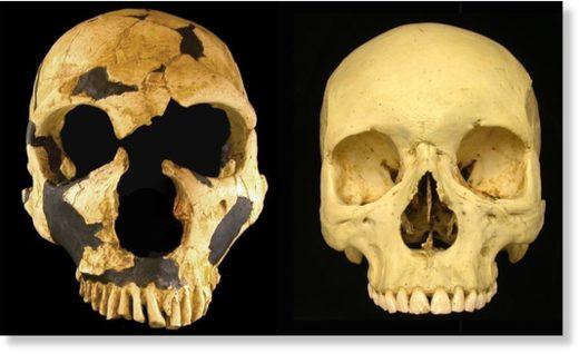Comparación de un cráneo neandertal con el de un Homo sapiens.
