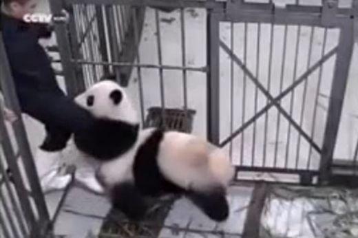 PANDA - Un panda abraza a su cuidador y se niega a dejarlo