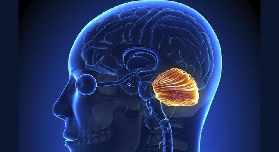 Resultado de imagen de cerebelo