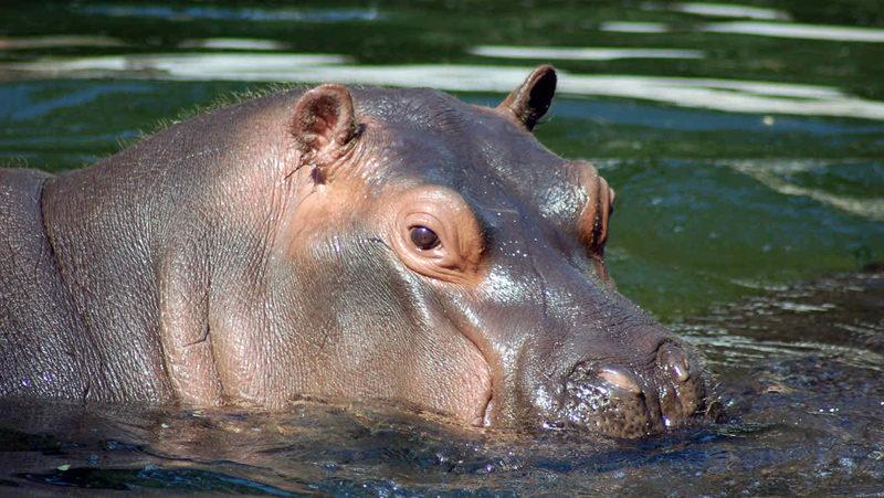 Más De Cien Hipopótamos Mueren Por Brote De ántrax