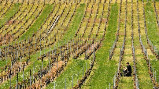 vinyard poor weather conditions lowers wine output