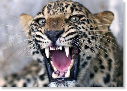 Stock image of leopard