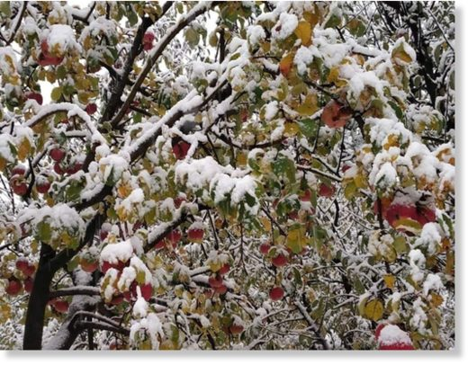 snow on apples