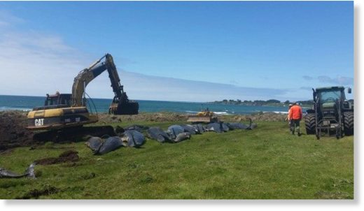 Pilot whales are buried after stranding on the Chatham Islands.