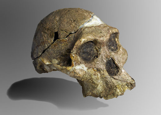 Cráneo completo Australopithecus africanus