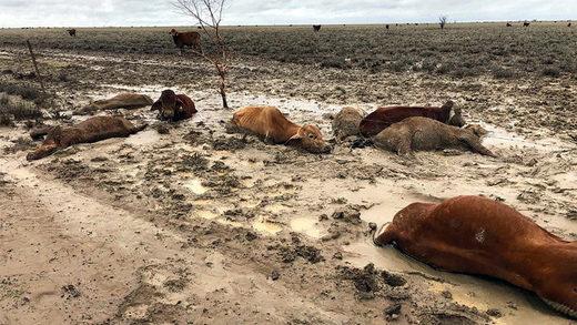 livestock ganado Australia flood inundació