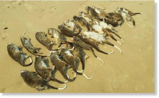 Wildlife rescuers found 127 dead and injured ringtail possums at Somers Beach in Victoria during a four-day heat spell.