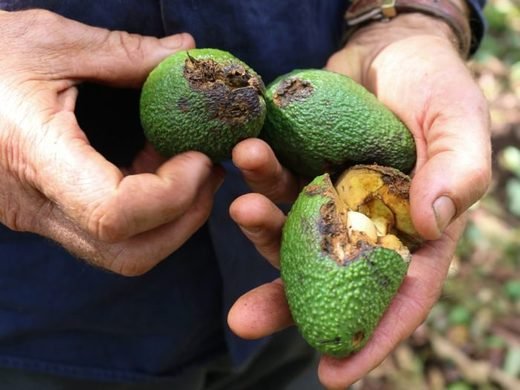 Aussie Orchards' managing director Colin Foyster holds three of the 4 million damaged avocados