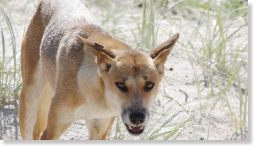 A dingo on the beach a Fraser Island.