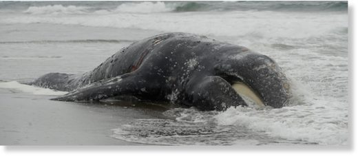 Waves roll into a dead whale at Ocean Beach in San Francisco, Monday, May 6, 2019.
