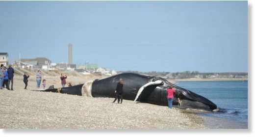 Humpback whale carcass washes up on East Sandwich beach
