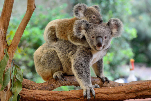 Koalas functionally extinct