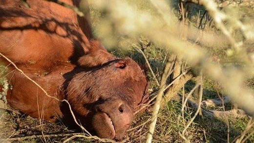 Imagen ilustrativa de una vaca mutilada en un caso ocurrido en la provincia de Santa Fe, Argentina.