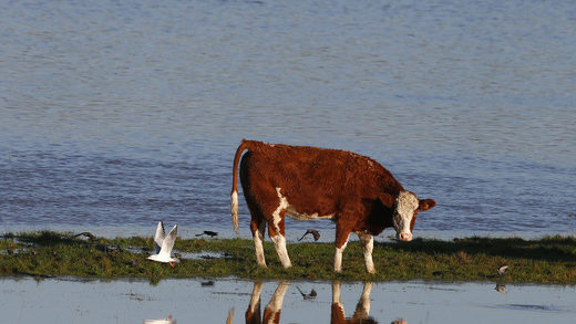 cow flooded