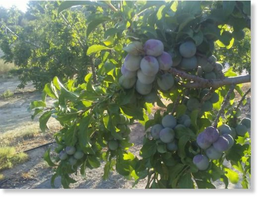 More than half of Caspe's queen plum crops have been scorched by heat.