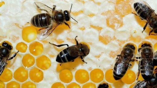 Peligroso: mueren más de 500 millones de abejas en Brasil en tres meses