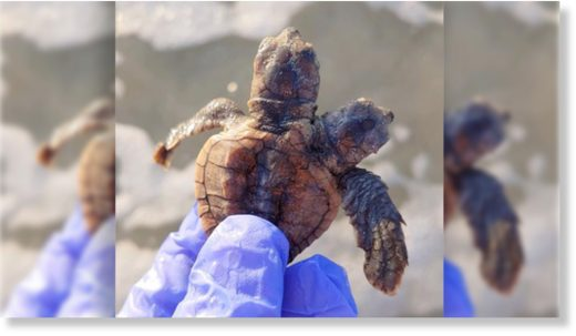 The two-headed turtle stunned researchers.