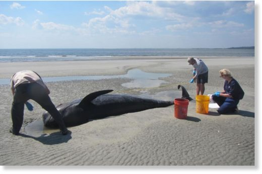 Agencies respond to pilot whale stranding at St. Catherines
