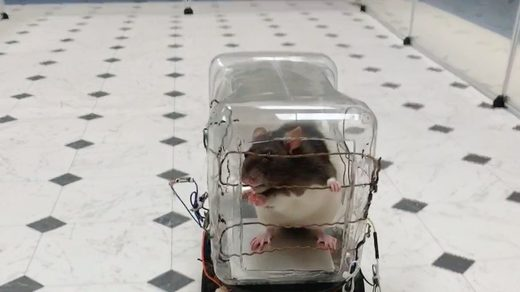 rat in a tiny car