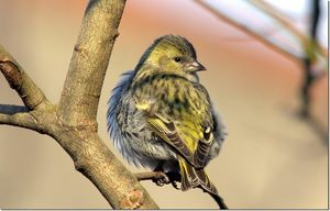 Siskin the bird