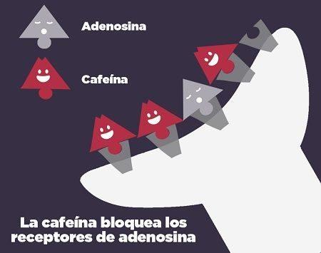 cafeína - adenosina