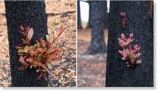 New life bursts from the charred trunk of a tree in Kulnara, NSW.