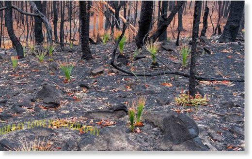 Black Boys, or Grass Trees, spring to life. The plants can only reproduce with the help of fire. Heat from the fire cracks the plant's hard seed.