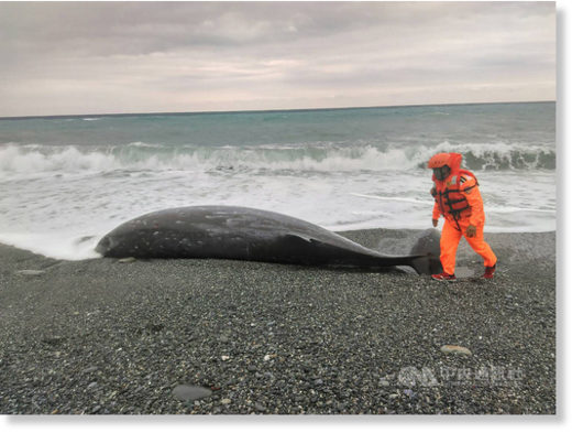 A Cuvier's beaked whale found on a beach in Hualien, eastern Taiwan