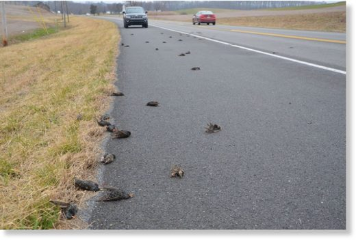 A flock of more than 100 European starlings were killed in one small spot along Route 225 in northern Dauphin County.