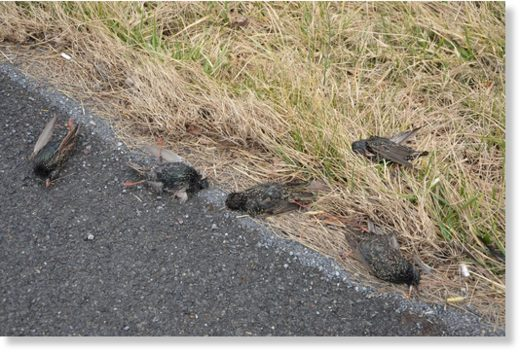 Some of the European starlings killed as a flock along Route 225 in northern Dauphin County.