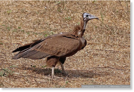 Hooded Vulture