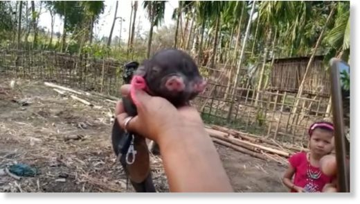 As soon as the news spread, villagers streamed to Inghi's house to have a glimpse of the piglet.