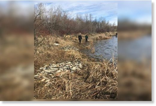 Dead fish were found on the shores of Humboldt Lake after the 2020 spring thaw.