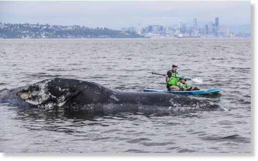 Maggie Kizer and her son, Eli, 3, paddle board near a dead gray whale that washed up on the shore of Manitou beach on Bainbridge Island on Tuesday.