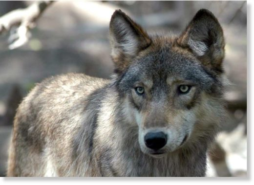 A grey wolf seen in a file photo.