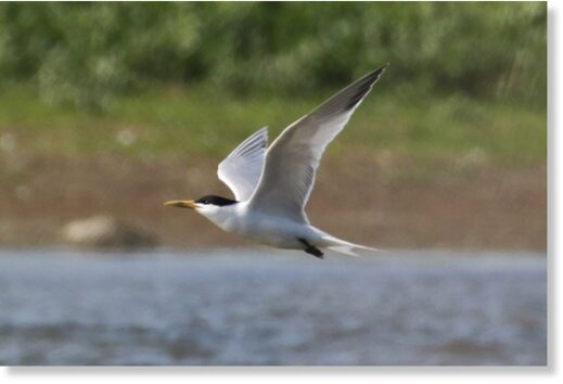 Cayenne Tern, Lady's Island Lake, Wexford (Paul Kelly).