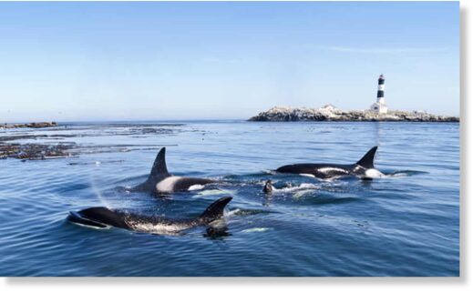 In the deep: a pod of highly intelligent killer whales, or orcas.