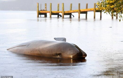 A dead pilot whale is seen at Macquarie Harbour on Thursday in Strahan, western Tasmania