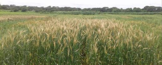 Zambia wheat
