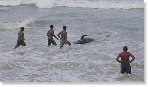 Sri Lankans attempting to push a beached whale back to deep waters in the Indian Ocean in Panadura, on outskirts of Colombo, Sri Lanka on November 3.