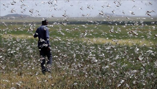 Locusts in Ethiopia