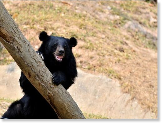 When the residents of Vadhuk village were in the forest, they were attacked by a Himalayan black bear (Representative Image).