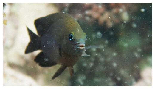 Longfin damselfish